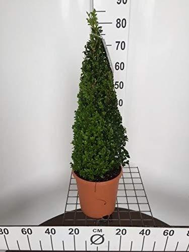 Buchsbaum Pyramide, (Buxus sempervirens var. Arborescens), winterhart und immergrün, (ca. 60cm hoch im 23cm Topf)