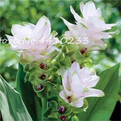 Kalash nuovi semi 100 pezzi Curcuma fiori per il giardinaggio bianco