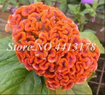 Bonsai 200 PC/Beutel Imported Hahnenkamm Blume Mix Farbe Celosia DIY Hausgarten Stauden Blumen Pflanzen Balkon Dekor Bepflanzung: 19 -