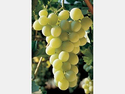 1-pianta-di-uva-tavola-bianca-italia-maturazione-pianta-ad-agosto