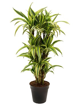 Drachenbaum, Dracaena lemon lime, ca. 105 cm, große Zimmerpflanze, 21 cm Topf