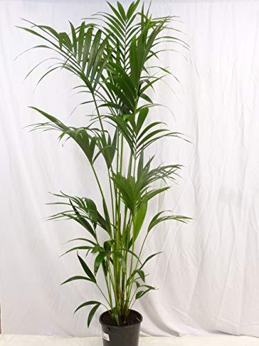 [Palmenlager] - Howea forsteriana - Kentia Palme 200 cm - 5 Stämme - // Zimmerpflanze