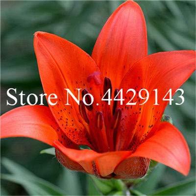 Bloom Green Co. 50 Pcs Garland Flamme Lilium Fleur Balcon Bonsai cour planter des fleurs Lily Bonsai, Plante en pot pour jardin: 12