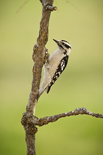 Tom Patrick / Design Pics – Female downy woodpecker on a tree branch;Ohio United States of America Photo Print (60,96 x 96,52 cm) (State-tree Ohio)