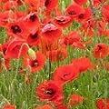 Just Seed Saatgut, Wildblume, Klatschmohn/ Papaver rhoeas, 20.000 Samen von Just Seed bei Du und dein Garten