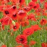 Il vous suffit de graines de fleurs sauvages???Coquelicot???Rouge commune Graines de ma?s???20000?Coquelicot