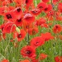 Just Seed Saatgut, Wildblume, Klatschmohn/ Papaver rhoeas, 20.000 Samen