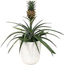 Suchergebnis Auf Amazon De Fur Ananas Pflanze
