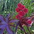 Wunderbaum, Palma Christi - Ricinus communis von tropical.garden - Du und dein Garten