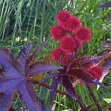 Wunderbaum, Palma Christi - Ricinus communis