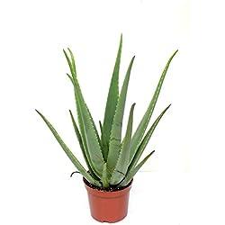 Blumen Senf Echte 2 Pflanzen Aloe Vera, 12cm Topf, ca. 20 - 30 cm hoch,
