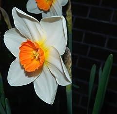 Idea Regalo - 20 pz bulbo bulbi narcisi bianco arancio narciso fiore vaso giardino primavera