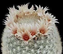 ESP-Handel - Mammillaria candida - Pflanze