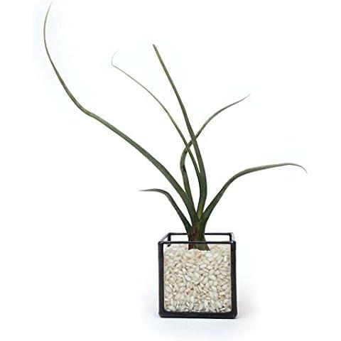 Cubo geometriche semplici piccole vetro terrario + Air Piante e bianco sabbia/Moderno Vaso/giardinaggio Indoor/Fatto A Mano, Vetro, Black with Air Plant & Sand, 6x6x6