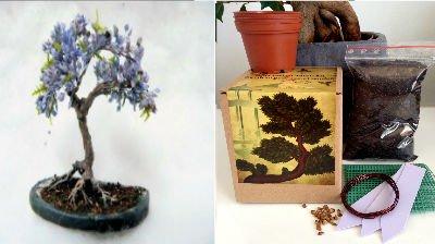 Bonsai Anzuchtset - Saatausstattung zum pflanzen eines Palisanderholzbaum,Jacaranda Bonsais -Samen / Pflanzentöpfe / Erde / Draht / Anleitung