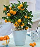 ShopMeeko Seeds:12 Kind Rainbow Fruit Home Garden, Children Best Gift : 10 Orange