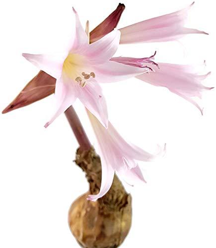 Fangblatt - echte Amaryllis Belladonna - XL Blumenzwiebel mit gigantischer Blüte - zauberhafte Belladonnalilie aus Südafrika - seltene Pflanze für Liebhaber