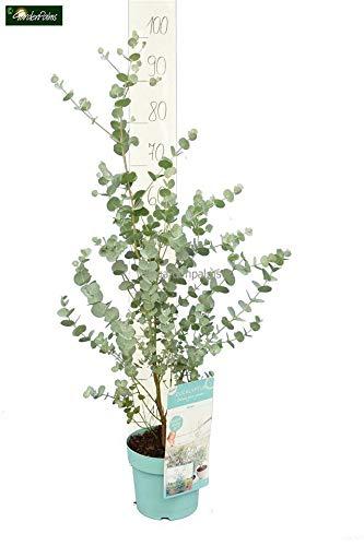 Zwerg Eucalyptus - Eucalyptus gunnii Azura - verschiedene Größen (60+cm - Topf Ø 17cm)