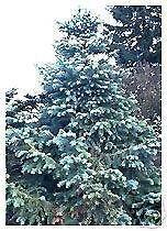 10 Samen von Cunninghamia lanceolata GLAUCA Blau China-Tanne SEEDS
