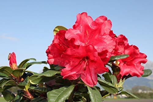 Rhododendron repens 'Scarlet Wonder' - Im 2 lt. Topf, Höhe ca. 20-25cm