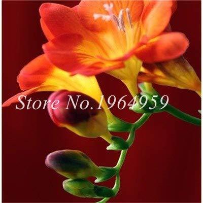 Shopmeeko Graines: Vase spécial coloré Bonsai Fleur Freesia Bonsai Décor rare orchidée Illuminez votre jardin personnel Bonsai 100 Pcs/Sac: 8