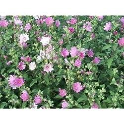 Vista Seedville 200 Rosen-Malve (Bush-Malve) Hibiscus Lavatera Trimestris Blumensamen