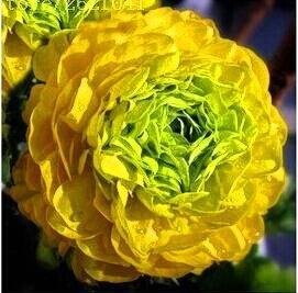 10 pcs / sac graines de pivoines Terrasse Cour Jardin Paeonia Suffruticosa Graines de fleurs vivaces plantes en pot pour le jardin de la maison 13