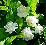 #4: OjOrey Jasmine Natural live Mogra Plant With Pot Indoor Flower Plant