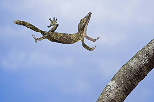 Thomas Kitchin & Victoria Hurst/Design Pics - Henkel's Leaf-Tailed Gecko in mid leap; Madagascar Photo Print (86,36 x 55,88 cm) - Tailed Gecko