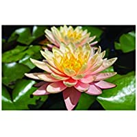 Fish or Wildlife Pond and bog Aquatic Plants Nymphaea James Brydon Water Lily Medium Water Lily Potted