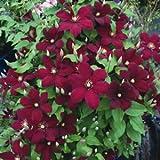 Clematis Niobe - 10 Seeds - Deep scarlet flowers