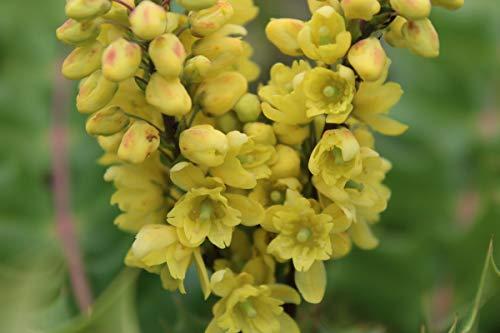 Mahonie 'Winter Sun' - starke Pflanze im grossen 5lt Topf