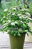 Shopvise 200 große Blatt Basilikum Samen Ocimum Basilicum, Gewrze Aromatische Kruter Samen Bonsai Garden Seeds Flower