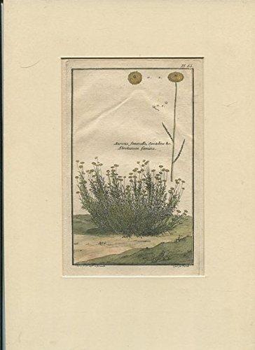 Aurone femmelle , Santoline c - Abrotanumfoemina - Kupferstich - handkoloriert.