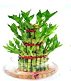 #2: Green plant indoor 3 Layer Lucky Bamboo Plants