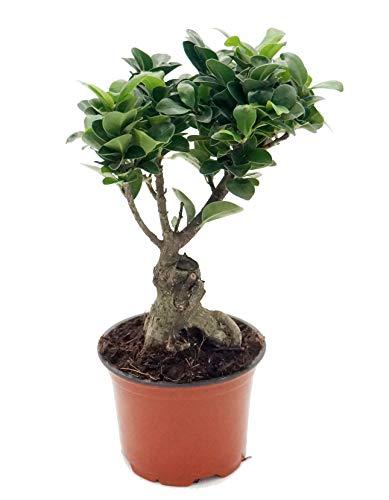Ficus Ginseng, Ginseng Bonsai, (Ficus microcarpa), asiatischer Bonsai, verschiedene Größen