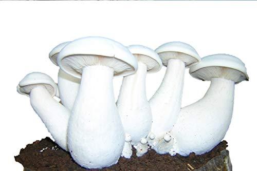 Thanvi Mushroom Milky Mushroom spawn (Calocybe indica) seed (400 g)