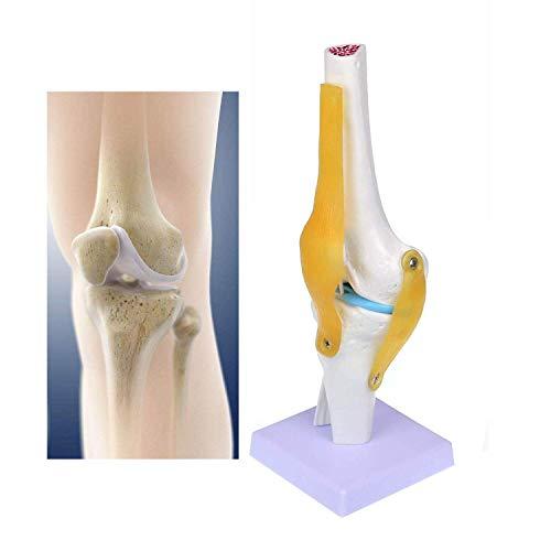FXQ Menschliches anatomisches Kniegelenkmodell - Medizinische Simulation Kniegelenk mit Bändern - Flexibles Skelettmodell für wissenschaftliche Studien Medizinische Lernhilfe
