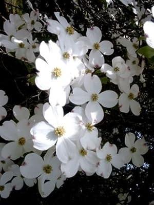 Amerikanischer Blumenhartriegel - Cornus florida 40-60 cm, von Gartengruen24 bei Du und dein Garten