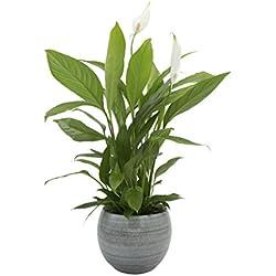 Zimmerpflanze Einblatt, Blattfahne, Spathiphyllum, ca. 40 cm hoch - mit edlem, eisblauen Blumentopf