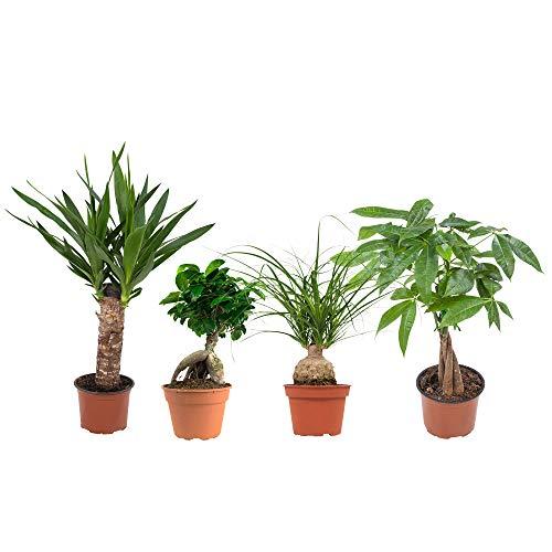 BOTANICLY | 4 × Plantas naturales - Tropical mezcla