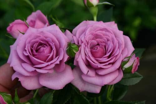 Pinkdose Azalea Gardens Rare Lavendel Rose 20 Seed