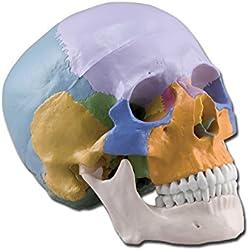 Modelo anatómico Calavera Multicolor de Vitruvio, 1x, desmontable en 3partes, para estudiantes, Universidad, didáctica
