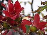 AGROBITS Bom Ceiba, Kapok-Baum, Dürre Unempfindlich Baum, 10 Samen