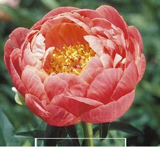 Pinkdose Hot vente 10pcs Couleurs mélangées Pivoine Fleur spéciale Chine Pivoine bricolage jardin maison Livraison gratuite: 2