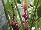 Rosa/Pinke Zwergbanane (Kenia-Banane) 10 Samen 'Musa velutina'