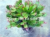 100 Stücke / Los Schlumbergera Samen, Krabben Kaktus, Topfpflanzung, Pflanzung Jahreszeiten, blühende Pflanzen