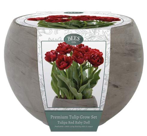 """Kit per la coltivazione di Tulipani color rosso tipo """"Baby doll"""". Completo di bulbi, terriccio per la coltivazione ed un vaso in pietra di basalto grigio Diametro 22 cm. Pronti in primavera"""