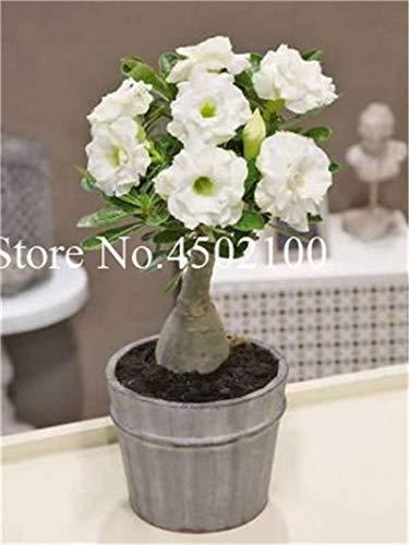 Pinkdose Vero 2 Pz Adenium Obesum Bonsai Esotico Deserto Rosa Bonsai Fiori In Vaso Balcone Multi-Color Petali Piante grasse Semi di piante: 21