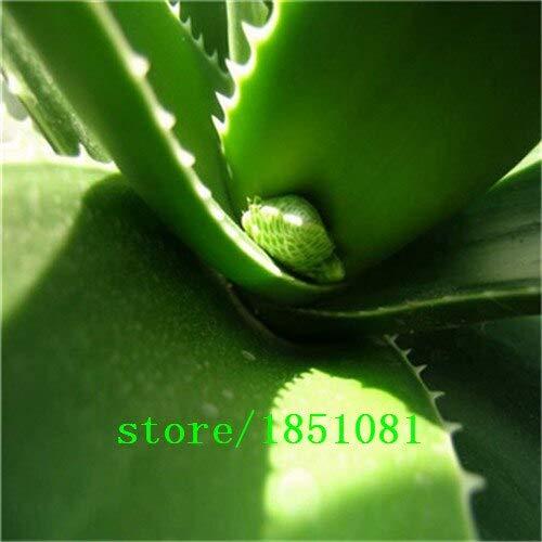 PlenTree Succulente seme, MESA Aloe rotazione polyphylla semi aloe vera regina, 100pcs / bag: Rosso